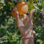 Image showing someone picking an apple ready to eat